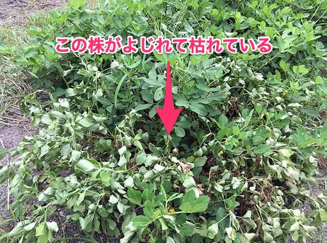 白絹病にかかったラッカセイ(落花生)