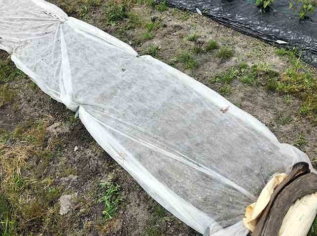 落花生の種まき後に不織布をベタ掛け