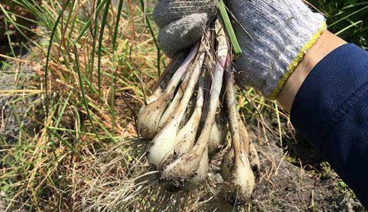 ラッキョウの栽培方法・育て方のコツ