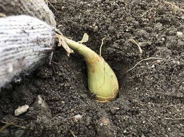ラッキョウの種球は芽を上にして植える