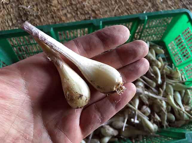 収穫後に根と茎を切り落としたラッキョウ