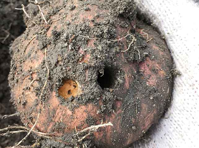 サツマイモがハリガネムシに食害された穴