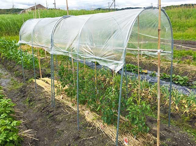 トマト栽培の様子