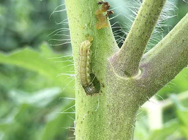 トマトの茎に穴をあけて侵入するオオタバコガ