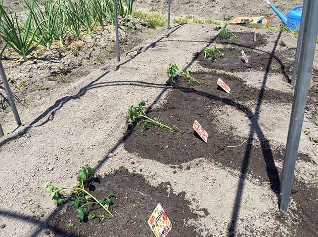 トマト苗の斜め植え