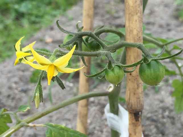 トマトの花と果房