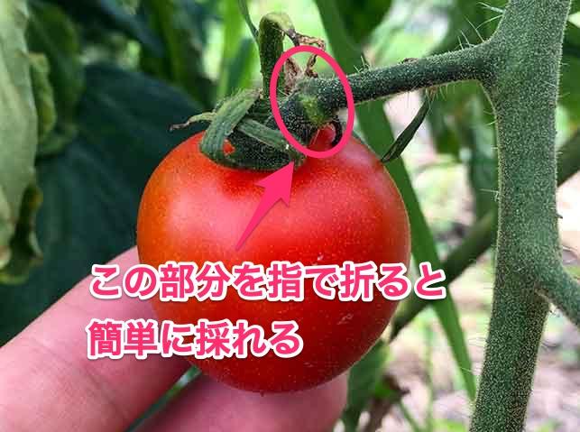 トマトの先端を指で折ると簡単に収穫できる