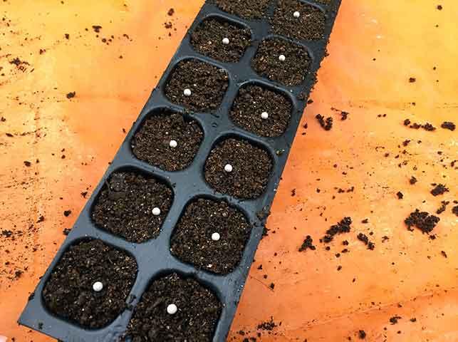 セルトレイに種まき