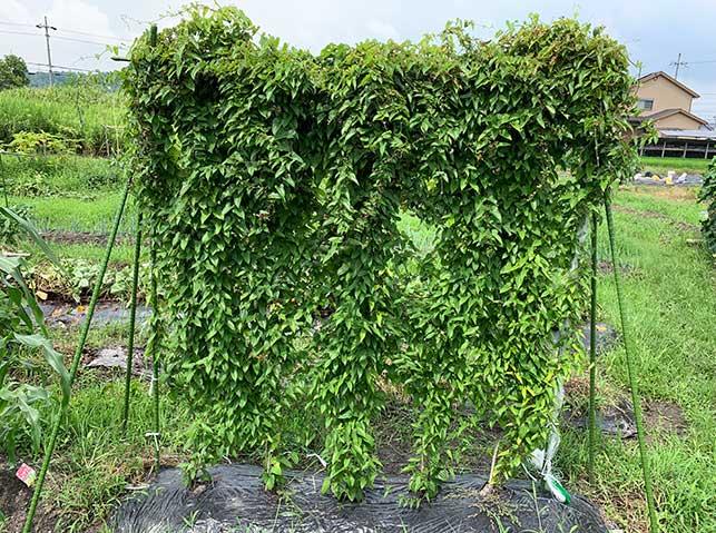 ヤマイモ(山芋・長芋・自然薯)栽培の様子