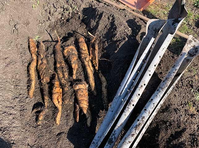 ヤマイモ(山芋・長芋・自然薯)のパイプ栽培