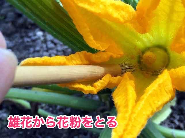 ズッキーニの人工授粉(雄花から花粉をとる)