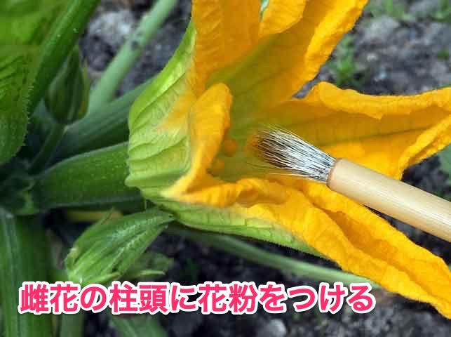 ズッキーニの人工授粉(雌しべに花粉をつける)