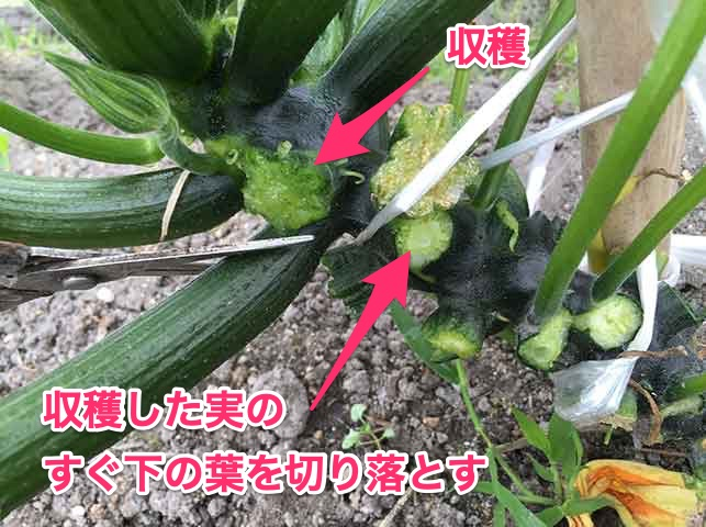 ズッキーニ収穫時に下の葉をかき取る