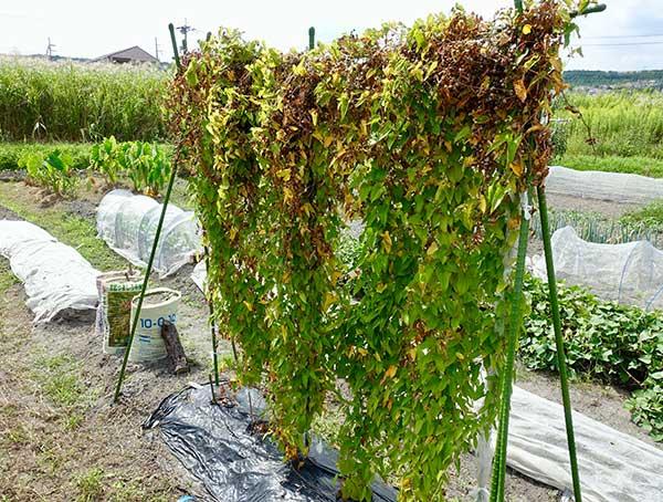 むかご収穫時期の山芋のツル