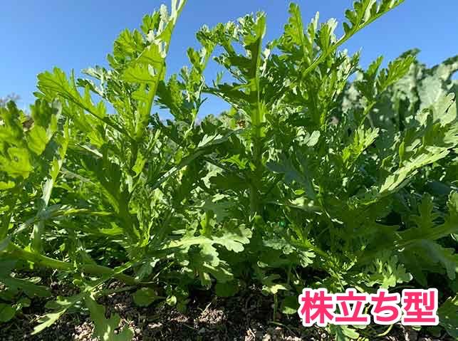 株立ち型のシュンギク(春菊)