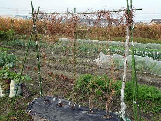 ヤマイモのツルが枯れたら収穫時期