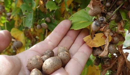 秋の味覚「むかご」のレシピ