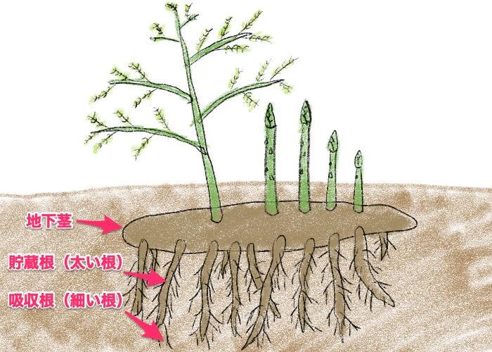 アスパラガスが地下茎から生えている図