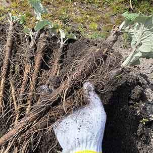 ゴボウの栽培方法