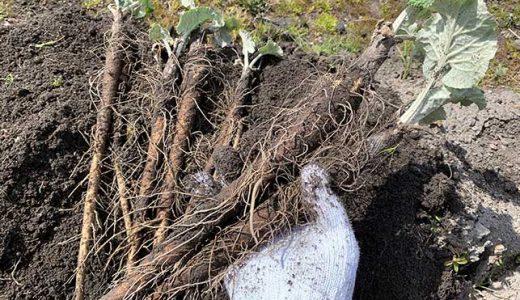 ゴボウの栽培方法・育て方のコツ