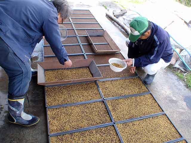 育苗箱に種籾をまく