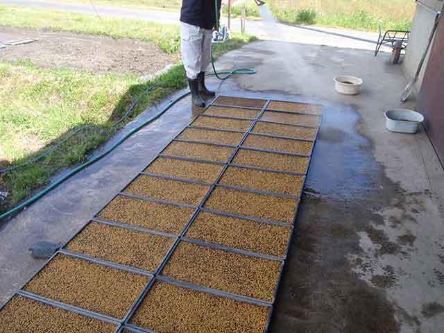 播種した育苗箱に水をまいて種籾を寝かす