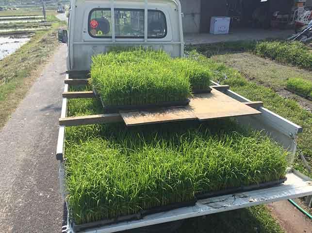 軽トラで稲の苗を田んぼに運ぶ
