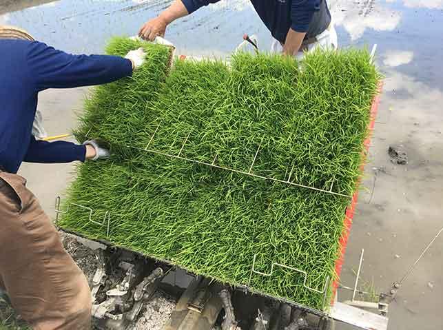 田植え機に稲の苗をセット