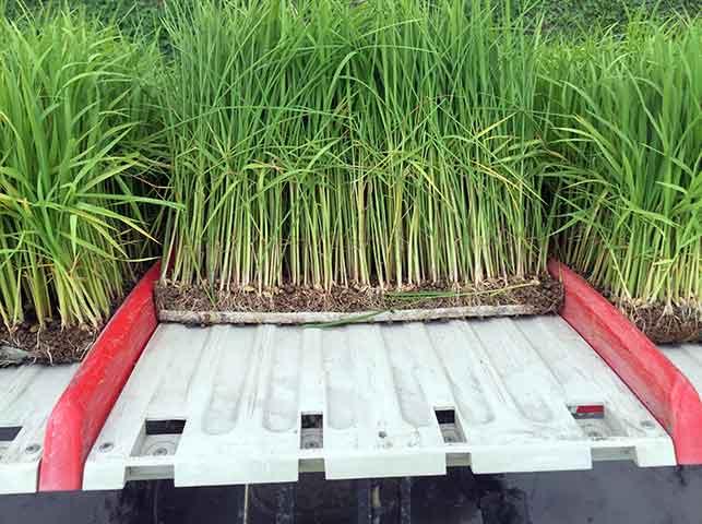 田植え機にセットされたマット状の稲の苗