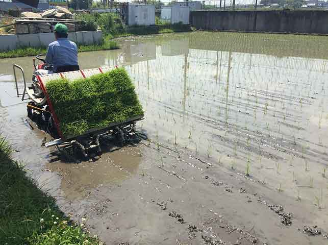 田植え機で苗を植え付け