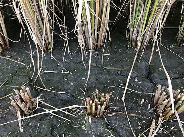 コンバインで刈り取られた稲の株元