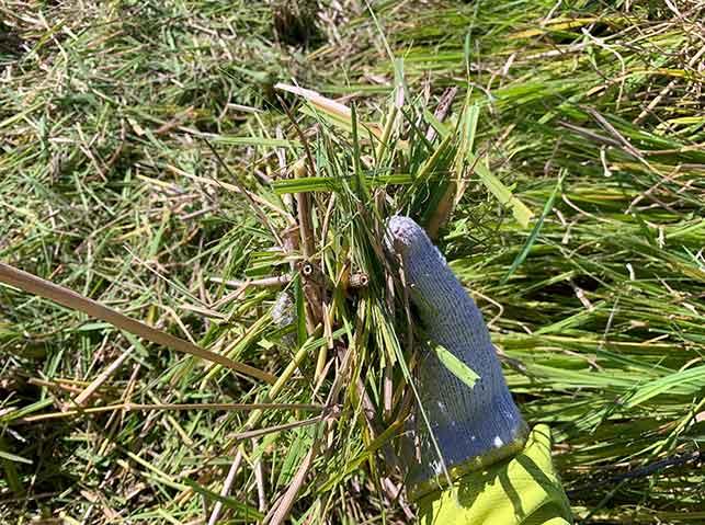 コンバインで刈り取られた稲は粉砕される