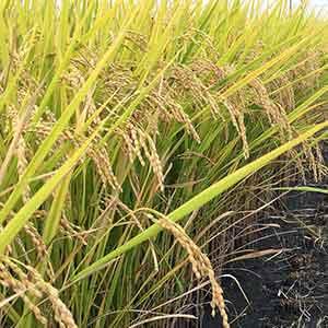 イネ(お米)の栽培方法