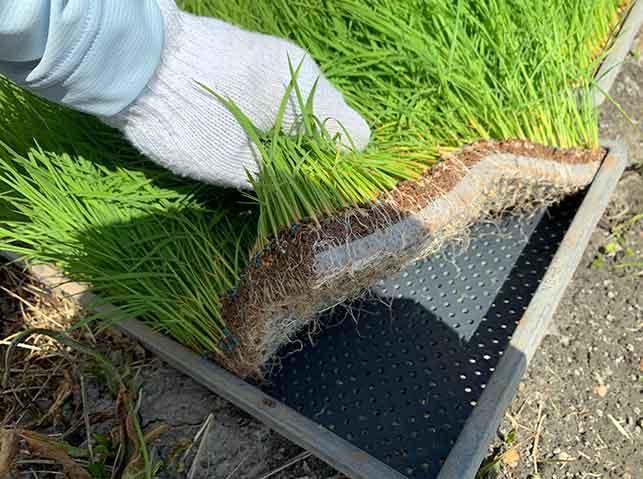 根が絡み合ってマット状になった稲の苗