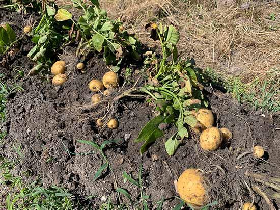 収穫したてのジャガイモ(キタアカリ)