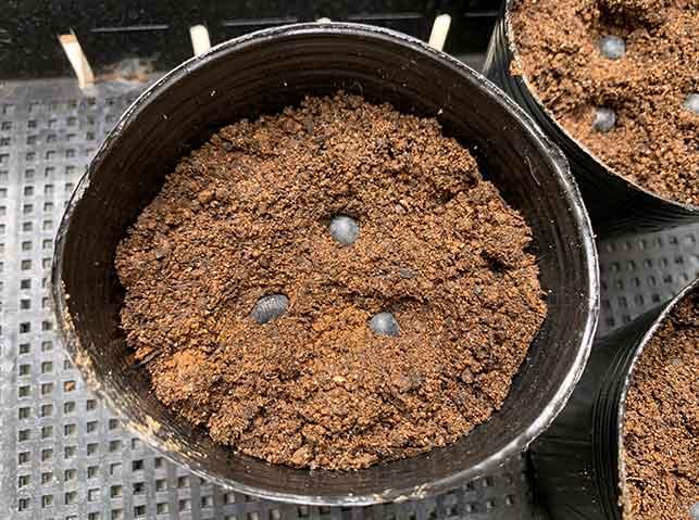 ポットに枝豆の種まき