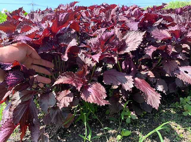 赤紫蘇の栽培