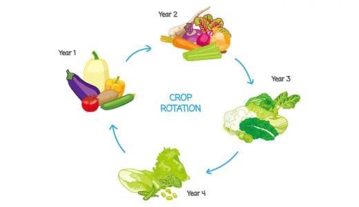 連作障害の原因と対策、各野菜の輪作年限について