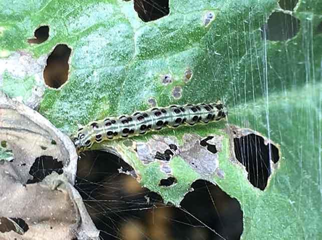 ベニフキノメイガがシソの葉を食害している