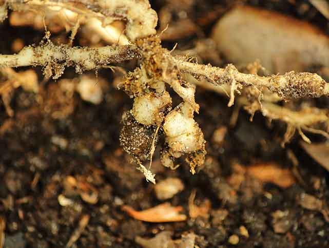 根こぶ線虫の被害に遭った野菜の根