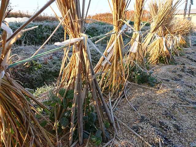 藁の束で囲んでエンドウの寒さ対策