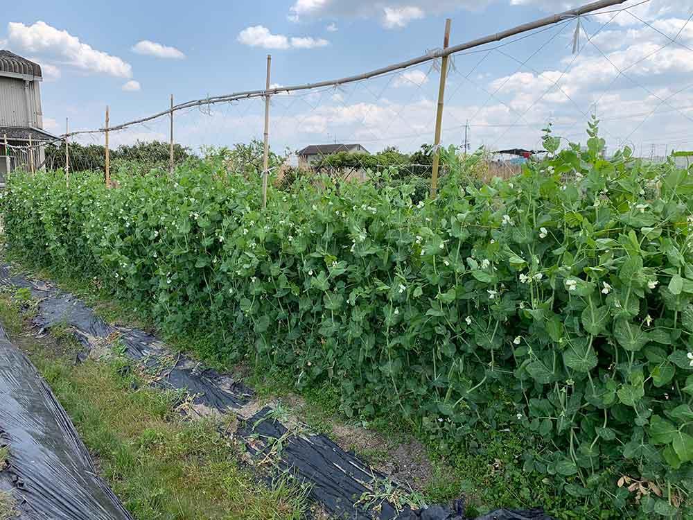 エンドウ(えんどう豆)の栽培の様子