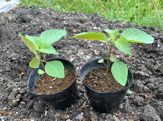 定植期のシソの苗