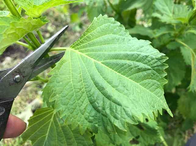 シソ(青紫蘇)の葉を摘んで収穫