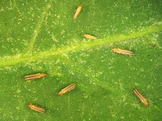 野菜の害虫「アザミウマ」