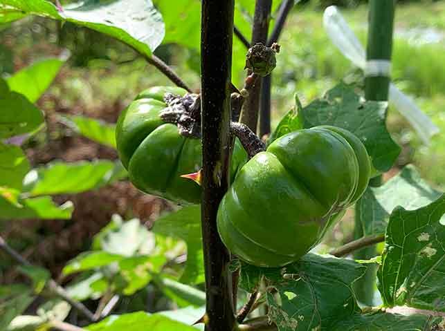 ナスの台木から出た芽になった果実
