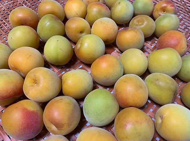 梅干し用の完熟梅