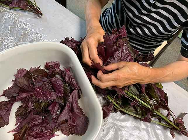 赤紫蘇の葉を1枚ずつ摘む