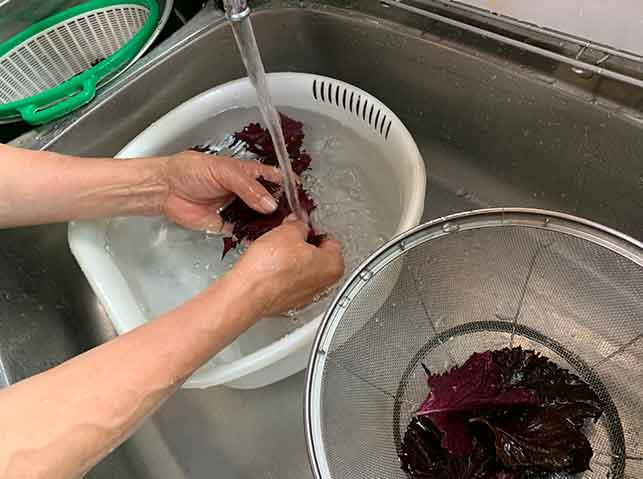 赤紫蘇の葉を水で洗う