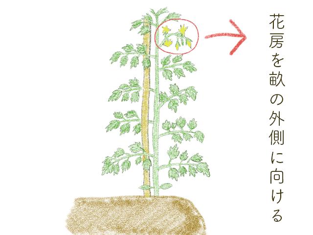 """トマトの花房を収穫作業側に植える"""""""